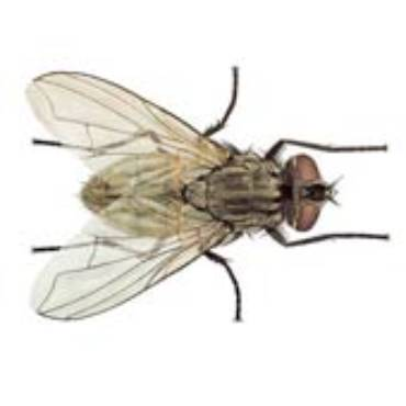 House Flies (Musca domestica)