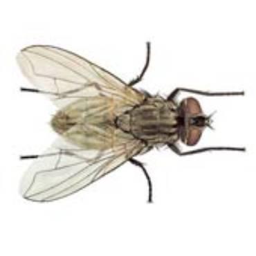 House Flies (Musca domestica)