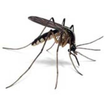 Mosquitoes (Culex and other species)