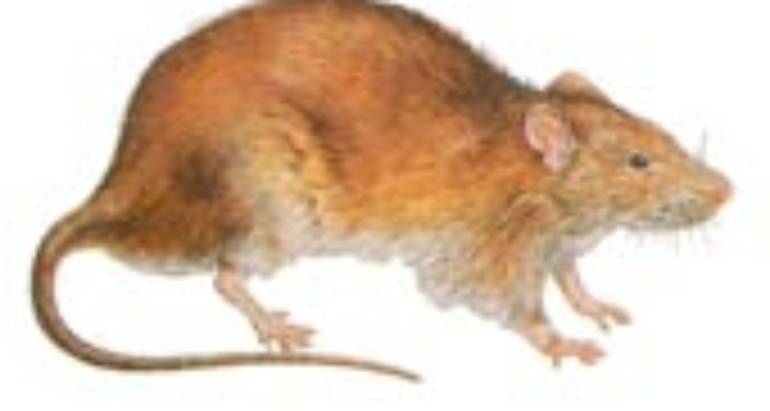 Norway Rats (Rattus Norvegicus)
