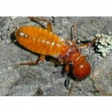 Dampwood Termites (Family Hodotermitidae)