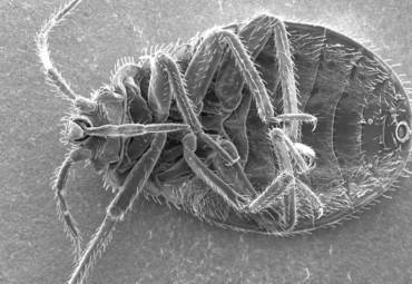 10 Things You Didn't Know About Bedbugs