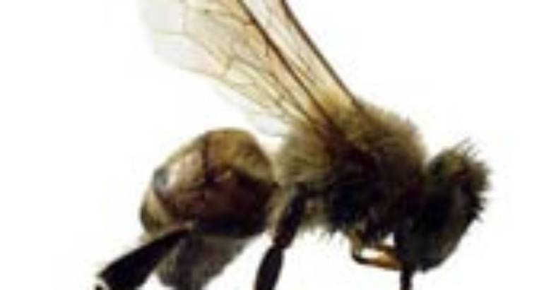 "Africanized (""Killer"") Bees (Apis Mellifera Scutellata)"