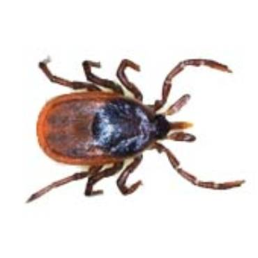 Blacklegged (Deer) Ticks (Ixodes Scapularis)