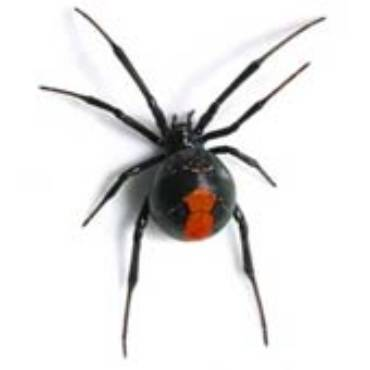 Black Widow (Lactrodectus Mactans)