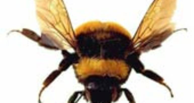 Bumble Bee (Subfamily Bombinae; Bombus Species)