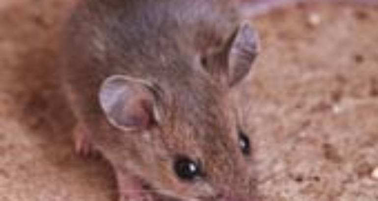 Deer Mice (Peromyscus Maniculatus)