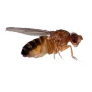 Fruit Flies (Drosophila Species)