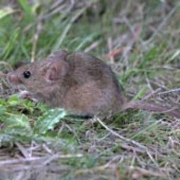 House Mice (Mus Domesticus)