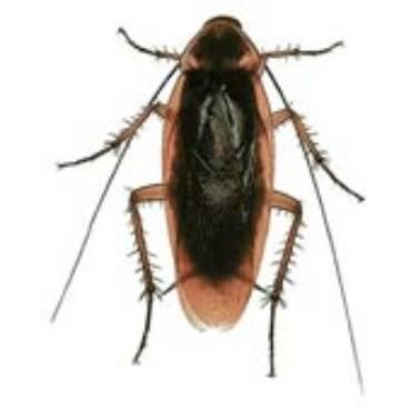 Oriental Cockroaches (Blatta Orientalis)