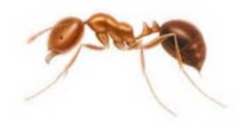 Red Imported Fire Ants (Solenopsis invicta)