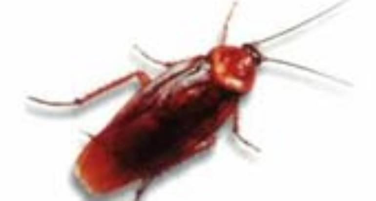 American Cockroaches (Periplaneta americana-Linnaeus)