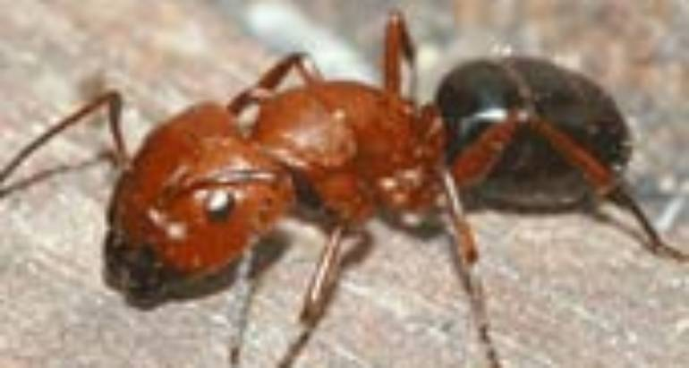Carpenter Ants (Camponotus species)