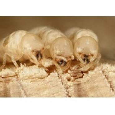 Drywood Termites (Family Kalotermitidae)