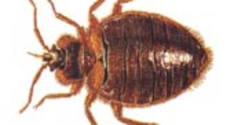 Bed Bugs (Cimex Lectularius)