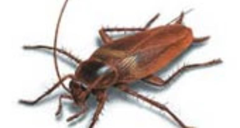 Brownbanded Cockroaches (Supella longipalpa)