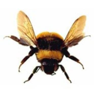 Bumble Bee (Subfamily Bombinae; Bombus Species)
