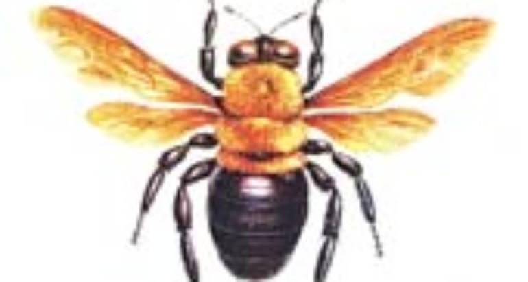 Carpenter Bees (Xylocopa Species)