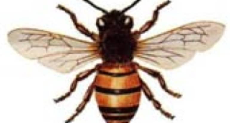Honeybees (Apis Nekkufera Linnaeus)
