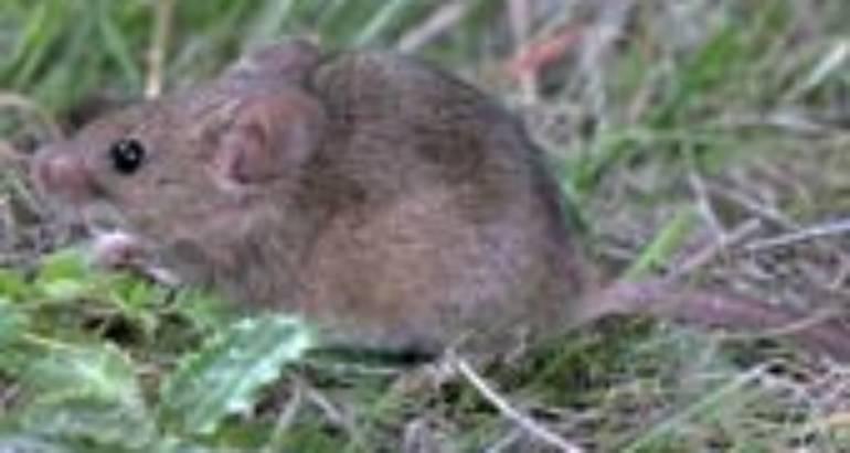 House Mice (Mus Domesticus)