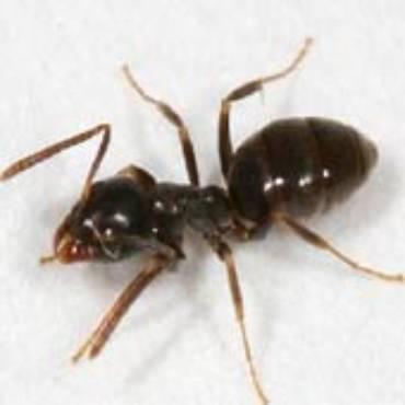 Odorous House Ants (Tapinoma sessile)