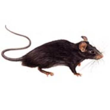 Roof Rats (Rattus Rattus)
